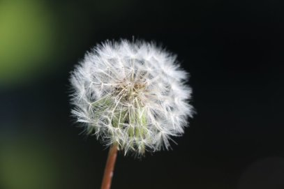dandelion magical herb