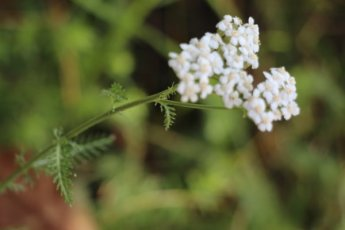 Yarrow for Cuts & Bruises